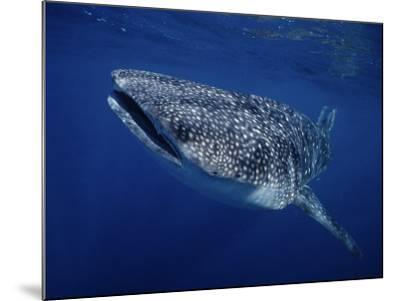 Whale Shark, Swimming, Australia-Gerard Soury-Mounted Photographic Print