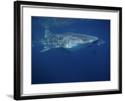Whale Shark, with Pilot Fish, Australia-Gerard Soury-Framed Photographic Print