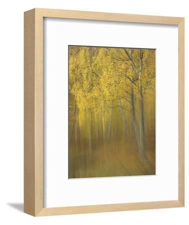 Silver Birch, Impression of Woodland, Scotland-Mark Hamblin-Framed Photographic Print