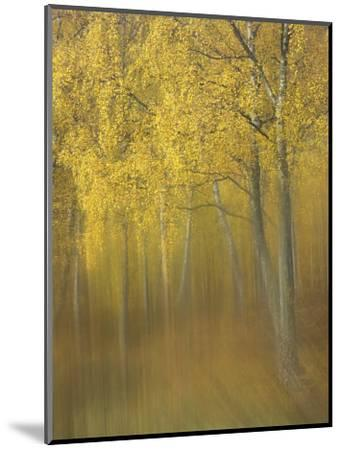 Silver Birch, Impression of Woodland, Scotland-Mark Hamblin-Mounted Photographic Print