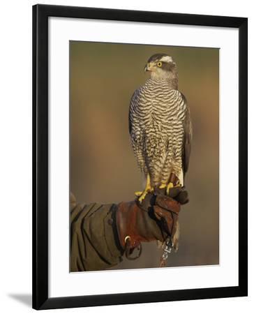 Goshawk, Adult Perched on Falconers Glove, Scotland-Mark Hamblin-Framed Photographic Print