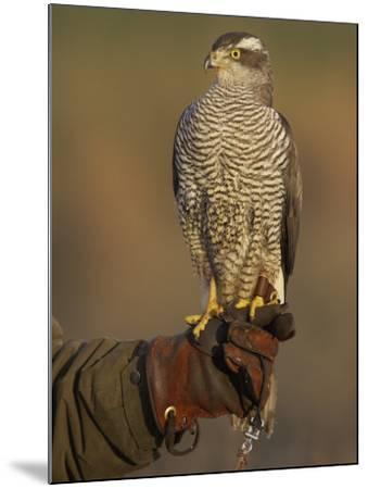 Goshawk, Adult Perched on Falconers Glove, Scotland-Mark Hamblin-Mounted Photographic Print