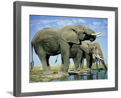 African Elephant, Amboseli National Park, Kenya-Martyn Colbeck-Framed Photographic Print