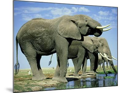 African Elephant, Amboseli National Park, Kenya-Martyn Colbeck-Mounted Photographic Print