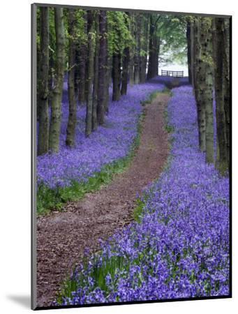 Spring Bluebell Woodlands, Hertfordshire, UK-David Clapp-Mounted Photographic Print