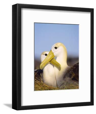 Waved Albatross, Pair Bonding, Espanola Island, Galapagos-Mark Jones-Framed Photographic Print