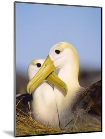 Waved Albatross, Pair Bonding, Espanola Island, Galapagos-Mark Jones-Mounted Photographic Print