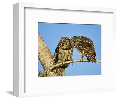 Barred Owl, Pair Bonding, Florida, USA-Stan Osolinski-Framed Photographic Print