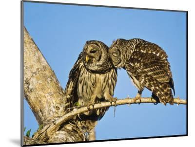 Barred Owl, Pair Bonding, Florida, USA-Stan Osolinski-Mounted Photographic Print