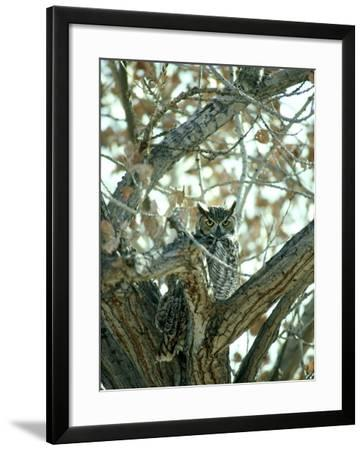Great Horned Owl in Tree, NM-Stan Osolinski-Framed Photographic Print