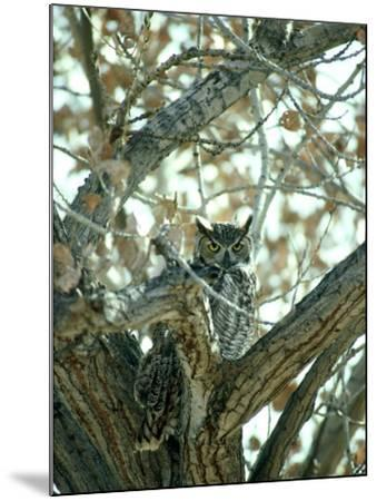 Great Horned Owl in Tree, NM-Stan Osolinski-Mounted Photographic Print