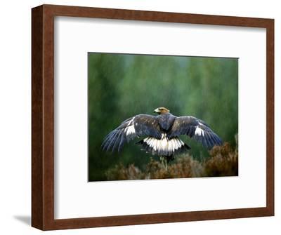 Golden Eagle, Male Perched, Highlands, Scotland-Mark Hamblin-Framed Photographic Print