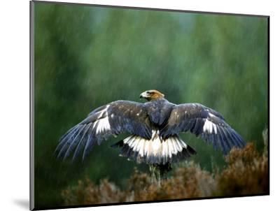 Golden Eagle, Male Perched, Highlands, Scotland-Mark Hamblin-Mounted Photographic Print