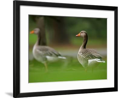 Greylag Goose, Pair of Greylag Geese Side-By-Side in Green Haze of Vegetation, London, Britain-Elliot Neep-Framed Photographic Print