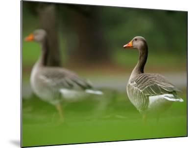 Greylag Goose, Pair of Greylag Geese Side-By-Side in Green Haze of Vegetation, London, Britain-Elliot Neep-Mounted Photographic Print