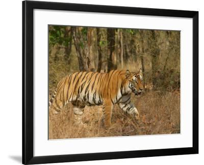 Bengal Tiger, Male Walking in Grass, Madhya Pradesh, India-Elliot Neep-Framed Photographic Print