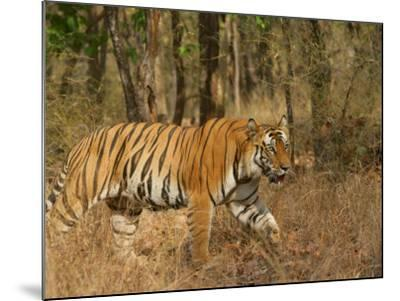 Bengal Tiger, Male Walking in Grass, Madhya Pradesh, India-Elliot Neep-Mounted Photographic Print