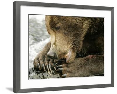 Alaskan Brown Bear, Close-up of Bear Eating Salmon, Alaska-Roy Toft-Framed Photographic Print