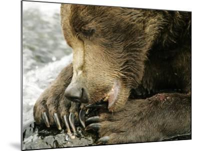 Alaskan Brown Bear, Close-up of Bear Eating Salmon, Alaska-Roy Toft-Mounted Photographic Print