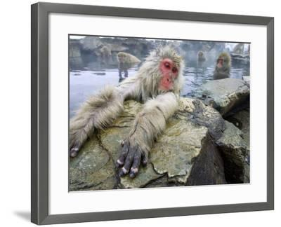 Japanese Macaques or Snow Monkeys, Adult in Foreground with Arms Extended on Rock, Honshu, Japan-Roy Toft-Framed Photographic Print