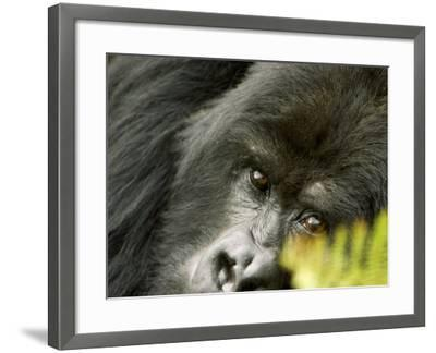 Mountain Gorilla, Close-up of Face Looking Through Fern, Africa-Roy Toft-Framed Photographic Print