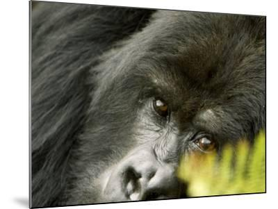 Mountain Gorilla, Close-up of Face Looking Through Fern, Africa-Roy Toft-Mounted Photographic Print