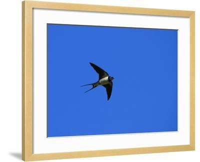 Swallow in Flight, Pembrokeshire, UK-Elliot Neep-Framed Photographic Print