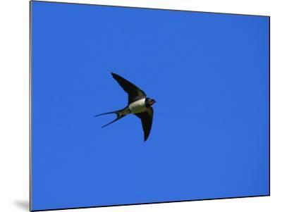 Swallow in Flight, Pembrokeshire, UK-Elliot Neep-Mounted Photographic Print