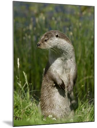 European Otter, Standing on Hind Legs, Sussex, UK-Elliot Neep-Mounted Photographic Print