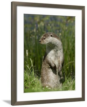 European Otter, Standing on Hind Legs, Sussex, UK-Elliot Neep-Framed Photographic Print