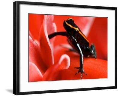 Golfo Dulce Poison Dart Frog, Frog Sitting on Pink Flower, Costa Rica-Roy Toft-Framed Photographic Print