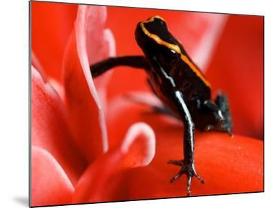 Golfo Dulce Poison Dart Frog, Frog Sitting on Pink Flower, Costa Rica-Roy Toft-Mounted Photographic Print