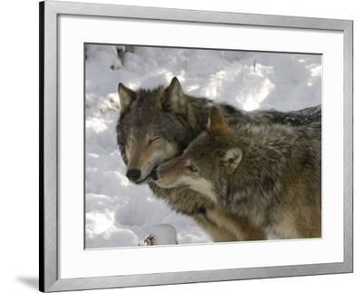Gray Wolf, Two Captive Adults Kissing, Montana, USA-Daniel J. Cox-Framed Photographic Print