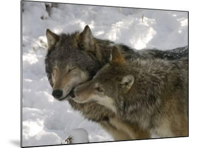 Gray Wolf, Two Captive Adults Kissing, Montana, USA-Daniel J. Cox-Mounted Photographic Print