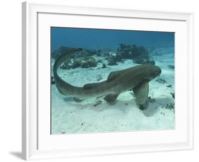 Leopard Shark, Male Swimming Over Ocean Floor, New Caledonia-Tobias Bernhard-Framed Photographic Print