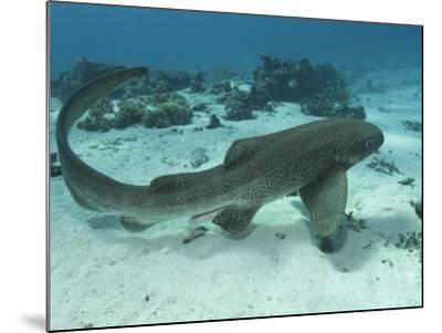 Leopard Shark, Male Swimming Over Ocean Floor, New Caledonia-Tobias Bernhard-Mounted Photographic Print