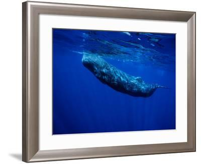 Sperm Whale, Juvenile, Portugal-Gerard Soury-Framed Photographic Print