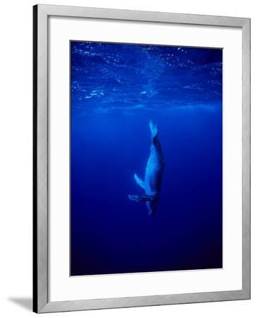 Humpback Whale, Juvenile, Polynesia-Gerard Soury-Framed Photographic Print