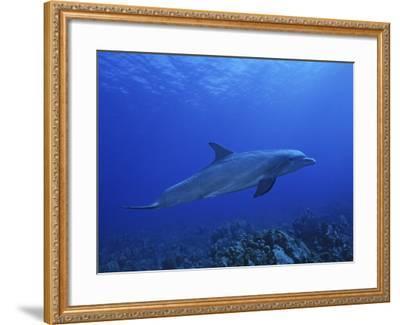 Bottlenose Dolphin, Underwater, Caribbean-Gerard Soury-Framed Photographic Print