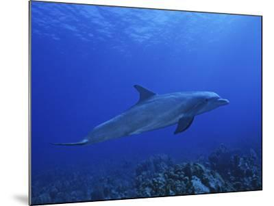Bottlenose Dolphin, Underwater, Caribbean-Gerard Soury-Mounted Photographic Print
