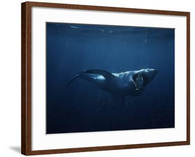 Great White Shark, Swallowing Bait, South Australia-Gerard Soury-Framed Photographic Print