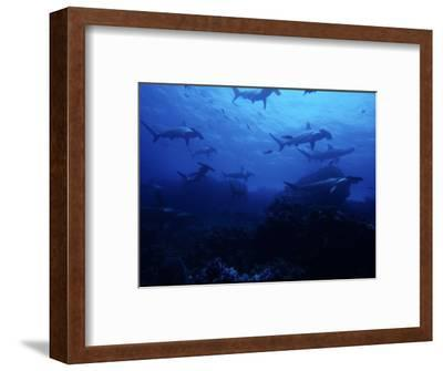 Scalloped Hammerhead Shark, Group, Galapagos-Gerard Soury-Framed Photographic Print
