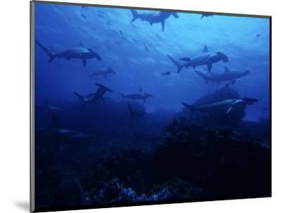 Scalloped Hammerhead Shark, Group, Galapagos-Gerard Soury-Mounted Photographic Print