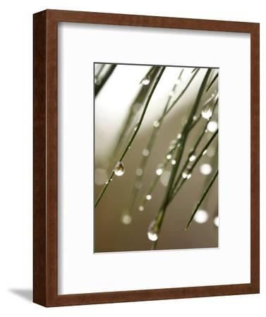 Rain Drops on Pine Branch Needles-Ellen Kamp-Framed Photographic Print