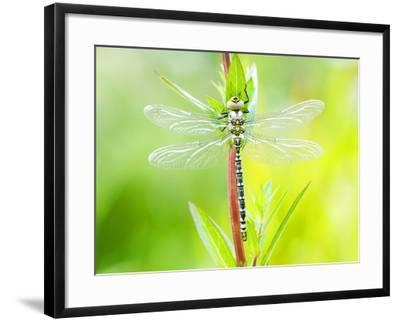Common Hawker, Newly Emerged Male on Plant, UK-Mike Powles-Framed Photographic Print
