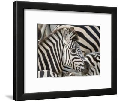 Burchells Zebra, Head, Botswana-Mike Powles-Framed Photographic Print