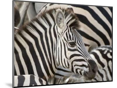 Burchells Zebra, Head, Botswana-Mike Powles-Mounted Photographic Print