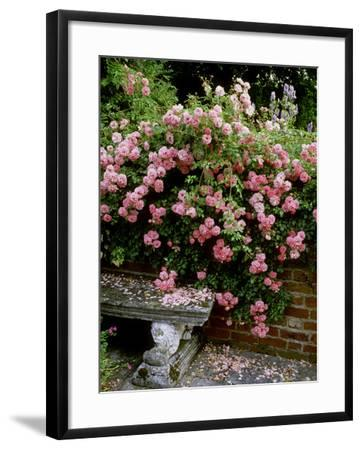 """""""Pheasant"""" Rose Cascades Over Wall onto Stone Bench-Ron Evans-Framed Photographic Print"""
