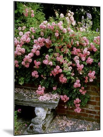 """""""Pheasant"""" Rose Cascades Over Wall onto Stone Bench-Ron Evans-Mounted Photographic Print"""