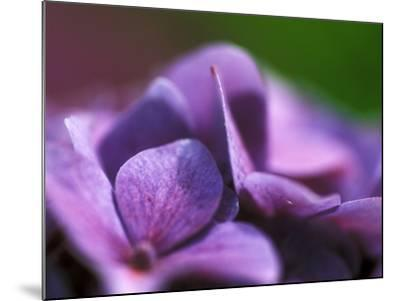 Hydrangea Macrophylla (Bouquet Rose), Close-up-Ruth Brown-Mounted Photographic Print